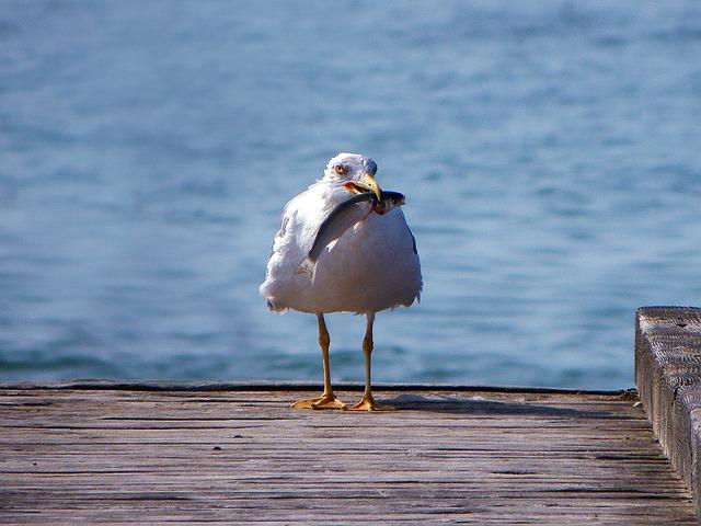 seagull-771245_640
