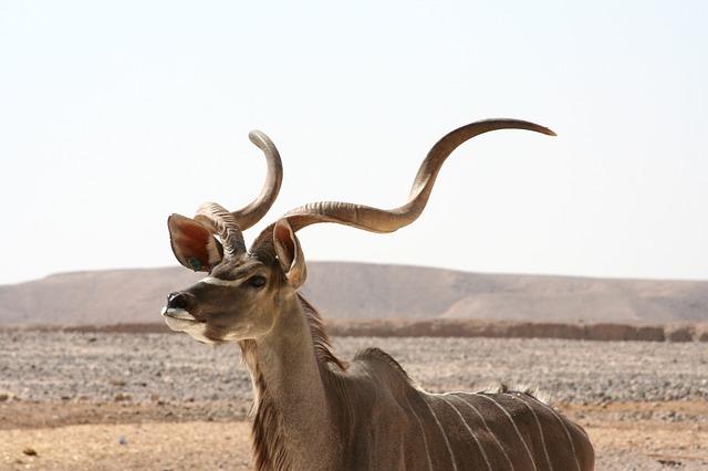 kudu-antelope-602272_640