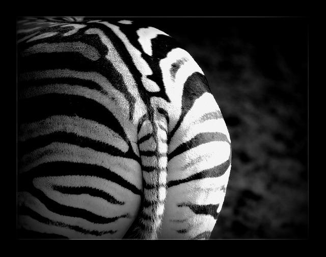 zebra-658765_640
