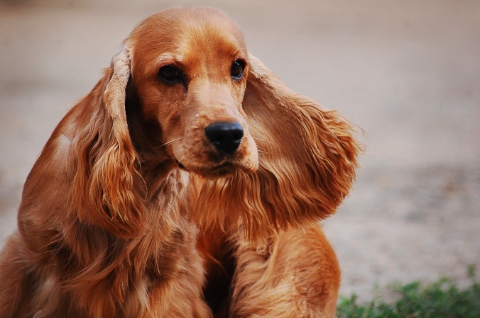cocker-spaniel-english-2388265_1280