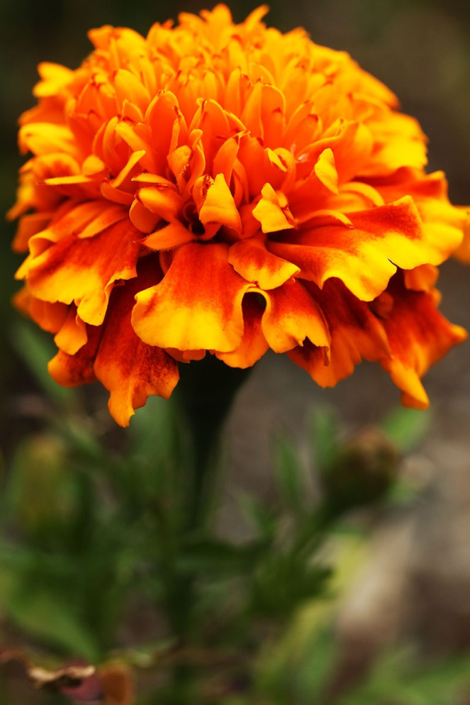 orangeflower1BLOGG.jpg